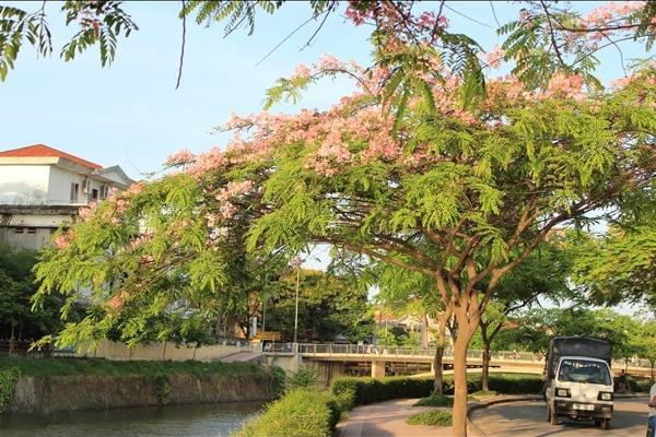 Cây Muồng Hoa Đào - Kiến Trúc Cảnh Quan - Ecograden