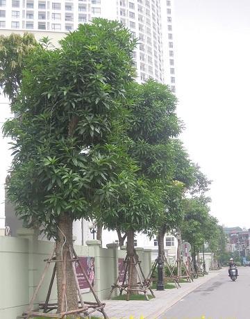 Cây Xoài - Kiến Trúc Cảnh Quan - Ecograden